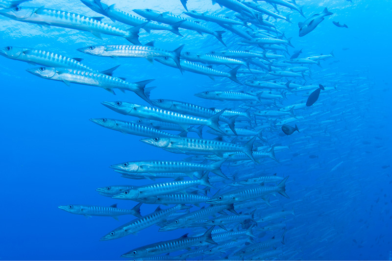 school of baracuda fish in bright blue water - biomimicry innovation inspired by nature