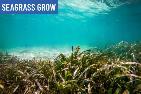 offset carbon footprint with seagrass grow and the ocean foundation